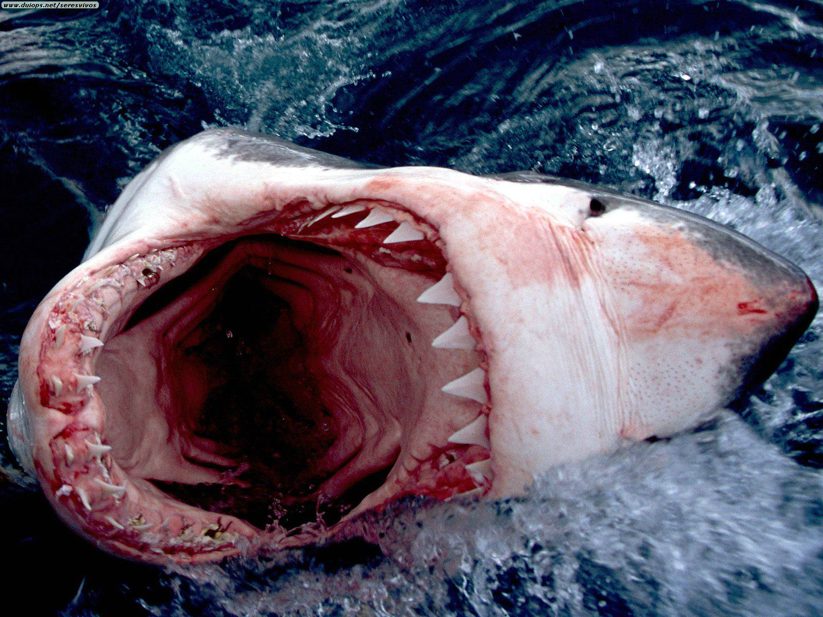Great White Shark, South Africa.jpg