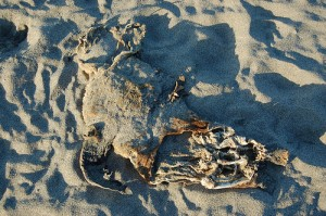 1423945534 f21ea70929 300x199 Pinniped Carcasses Littering Pacific Ocean Beaches