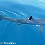 Catalina Channel White Shark Sighting
