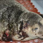 Harbor Seals slaughtered by Great White Shark in Carpinteria