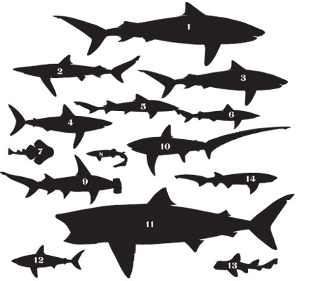 Sharks of the Santa Barbara Channel