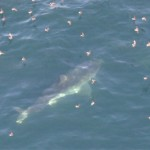 Great White Shark Looking for a Surfer