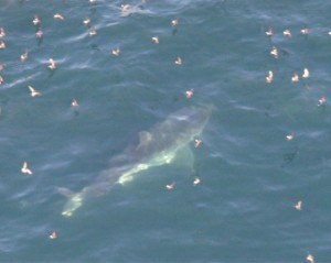 white shark sighting 300x239 Second Great White Shark Closes Stinson for Labor Day Weekend