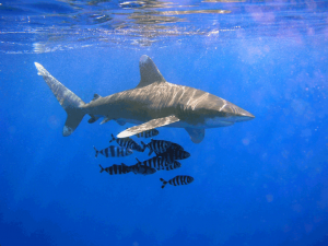 1023px oceanic whitetip shark 300x225 Oceanic Whitetip Shark