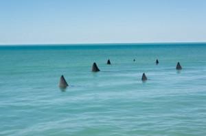 200200396 001 300x199 15 Large Tiger Shark Sightings close Big Island Beaches