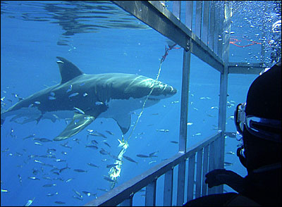 Cage diving with great white sharks off Ledbetter Beach
