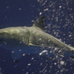 Catch and Release Great White Shark in Santa Barbara Channel