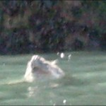 Alleged Great White Shark Sighting in Wales (UK)