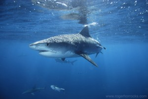 Tiger Shark, a ruthless killer with an appetite for flesh