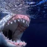 The Baddest Bite – Great White Sharks