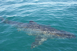 A picture of the actual shark that assaulted the family\'s boat