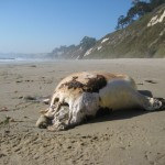 EXCLUSIVE PIC – Decapitated Seal near Hope Ranch Beach