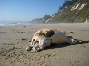 This mangled, headless, corpse, washed up on the beach in Santa Barbara.