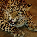 THE FEAR <strong><em>ABOVE</em></strong> – Boy Snatched By Leopard In Baramulla