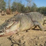 Shooting this crocodile was a mistake - his angry, massive, friend has sworn a blood oath of revenge against Australians