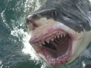 A massive Great White Shark... Frightening.