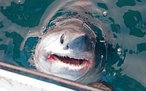 Atlantic Sharks Facing Extinction