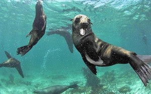 Seals make delicious snacks for sharks