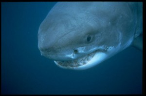 Great White Shark photo courtesy of LA Times