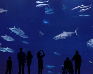 Great White Shark at Monterey Bay Aquarium