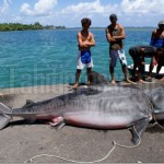 Massive Tiger Shark Netted Outside Teahupoo