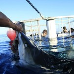 Cage-Diving Tours Found Not To Increase Shark Risk
