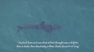 Large Great White Shark Swimming off Malibu