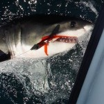 Great White Shark Caught off La Jolla by Fly Fisherman