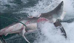 BIG FUCKING SHARK TERRORIZES AUSTRALIA