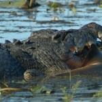 Crocodile Eats Shark Near Cojo Ranch, California
