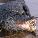 The Truth Behind Alligator Attacks in Florida