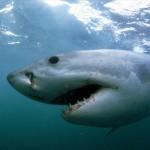 Great White Shark Patrolling Hollister Ranch, California