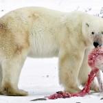 Adorable Fuzzy Polar Bear